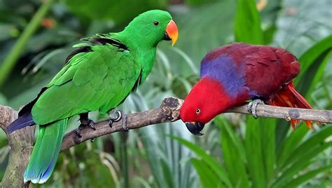 eclectus parrot wikipedia