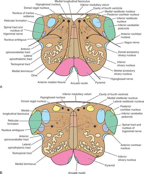 Transverse Section Of Medulla Oblongata ovid clinical neuroanatomy ueu