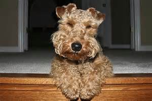 Welsh terrier rescue pictures page 7