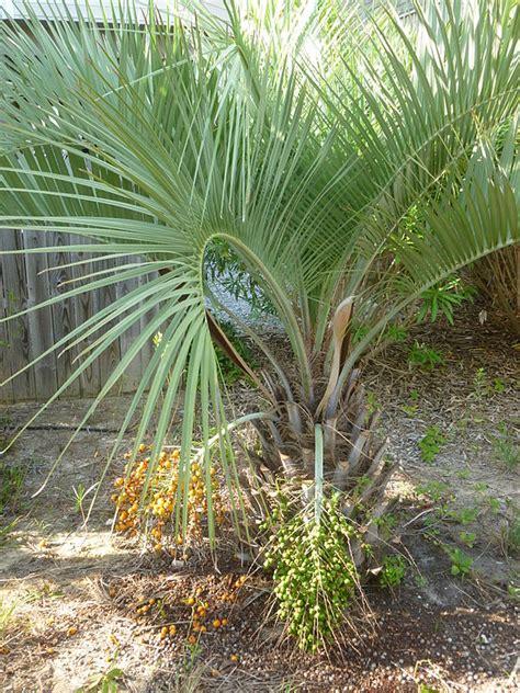 palma da giardino palme da giardino consigli coltivazione e cura