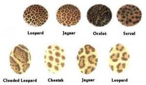 What Is The Difference Between Jaguar And Panther The Top 5 Differences Between Jaguars And Leopards The