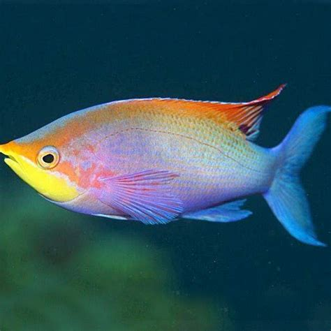 Home Decor Express by Rare Fish Available From Our Aquarium Store Amazing Amazon