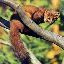 imagenes animal marta im 193 genes y fotos de animales martas