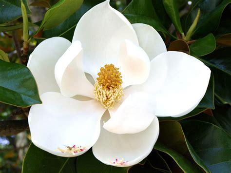 immagini magnolia fiore magnolia flower wallpaper flower dreams
