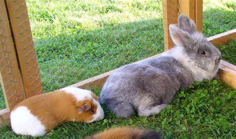 meerschweinchen und kaninchen in einem stall lebensgemeinschaft kaninchen und meerschweinchen