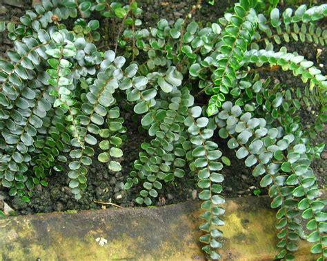 gardensonline pellaea rotundifolia