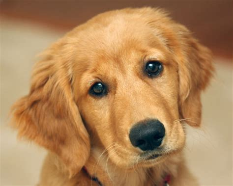 golden retriever blogs take an with puppies at perkins duke