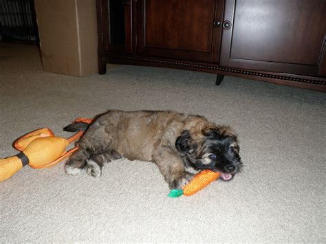 shepherd shih tzu mix shih tzu german shepherd mix www imgkid the image kid has it