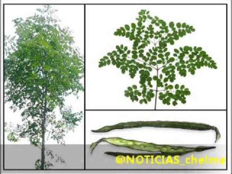video de la planta de moringa youtube beneficios de la moringa youtube