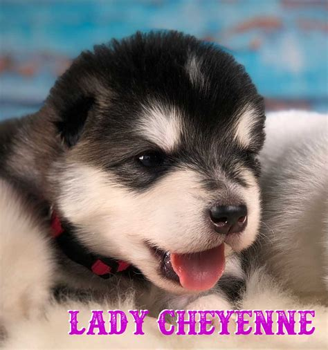 Puppy Alaskan Malamute grey alaskan malamute puppy cheyenne is available for