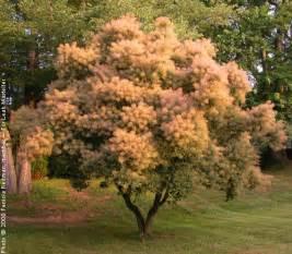 Orange Flowering Bush - 181 smoke tree english group 3