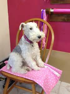 wire haired fox terrier puppies for sale wire haired fox terrier puppies for sale in ohio