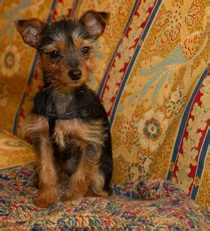 why do yorkies shiver dogs on silky terrier min pins and yorkie