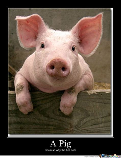 Pig Meme - 260 best images about swine pigs hogs boars on