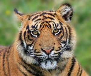 test animale sei risultato test animale sei tigre