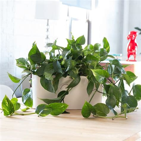 cascading indoor plants cascading heartleaf philodendron in windowsill planter