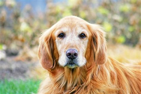 cognitive dysfunction in dogs what is canine cognitive dysfunction