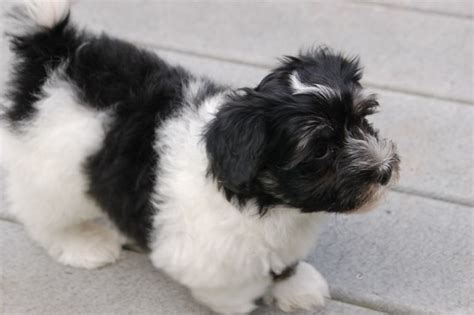 black and white havanese puppies for sale havanese pictures royal flush havanese