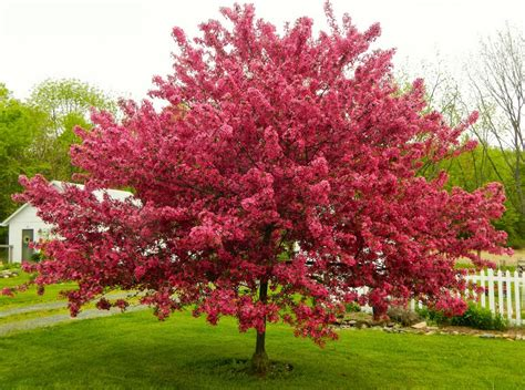 the 10 most beautiful ornamental trees for your yard the