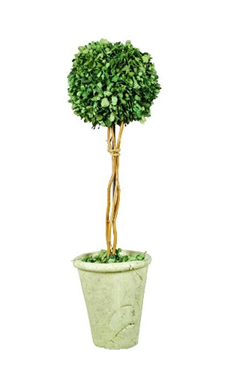 real topiary trees for sale galt international naturally preserved real boxwood