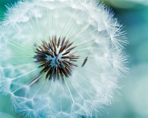 macro dandelion photography hd desktop wallpaper