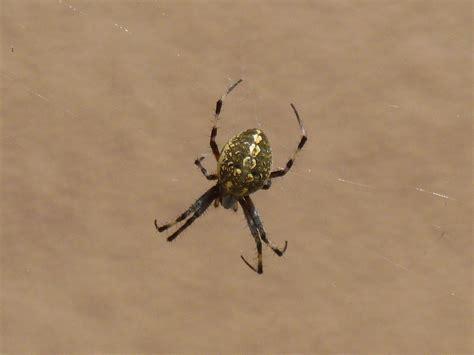 brown patterned spider identify a spider with white spots striped legs yellow