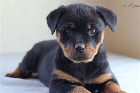 free puppies in missouri rottweiler puppy for sale near southeast missouri missouri 9466bf81 2f51