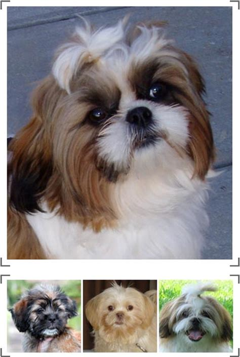 shih tzu health information shih tzu with curly hair maltese shihtzu shih tzu breed information pictures