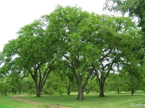 American Elm Is A Fast Growing Shade Tree Native To North