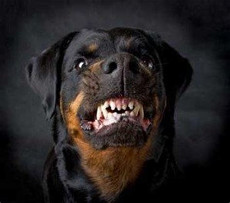 how strong is a rottweilers bite rottweiler bites chicago bite injury lawyers