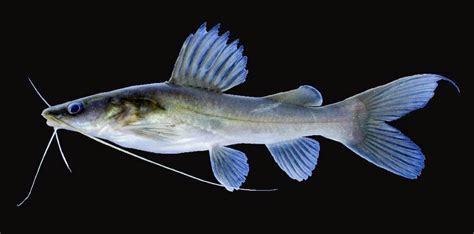 Umpan Pancing Mania kucur umpan jitu mancing ikan baung resep dan tips umpan jitu ikan mancing mania