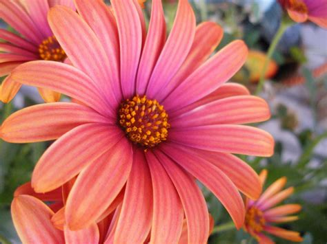 Gamis Orange Pink Flower pink orange flower by sammistock on deviantart