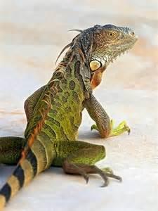 25 best ideas about green iguana on pinterest cruzan