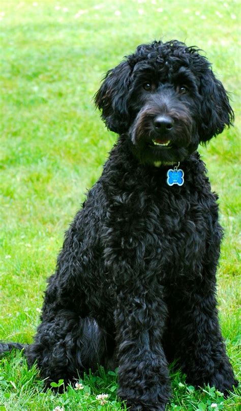 haired breeds 360 best images about dogs on poodles cocker spaniel and bearded collie