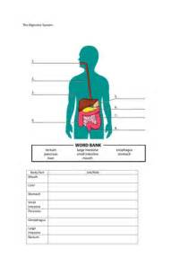 the digestive system worksheet by mmullen1005 teaching