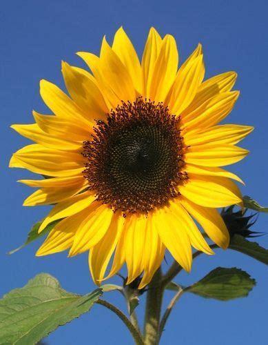 linguaggio dei fiori girasole yellow sunflower nature