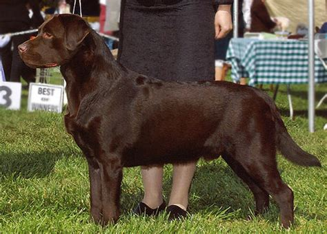 small lab small lab 28 images sire delta labradors chocolate