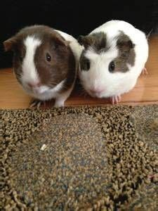 kennel for sale craigslist guinea pigs pigs and empire on