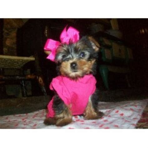 alabama yorkie breeders terrier yorkie breeders in alabama freedoglistings