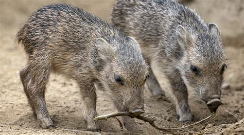 ecology conservation and management of pigs and peccaries books peccary san diego zoo
