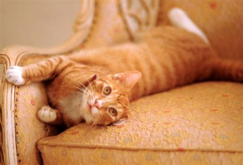 cat pees on couch pictures risky pet owner mistakes fat cats ticks fleas