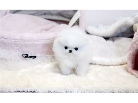 pomeranian puppies wisconsin affectionate teacup pomeranian puppies available for adoption animals elkhart lake
