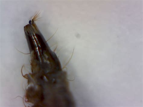 mosquitoes in bathroom drains drain fly larvae foothill sierra pest control