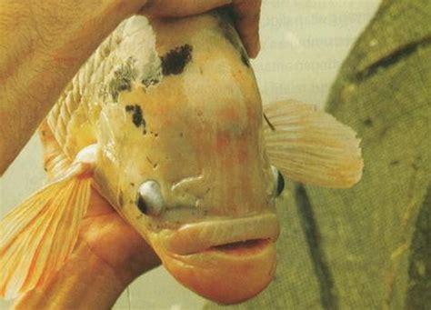 Benih Ikan Gurame Yang Bagus panduan lengkap memilih induk gurame untuk budidaya ikan