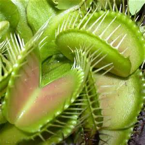 venus fly trap very hungry plant
