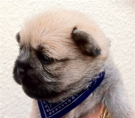 pug teddy beautiful pug cross teddy bears southsea hshire pets4homes