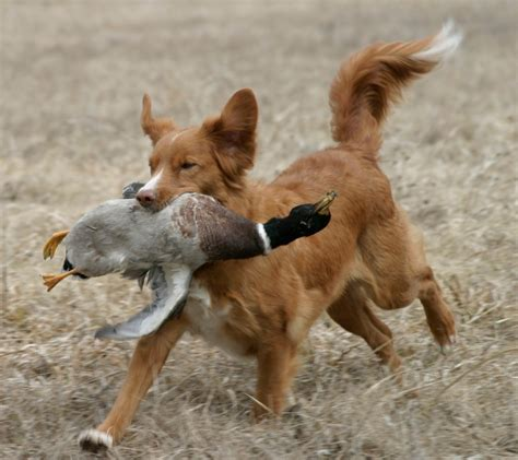 scotia duck tolling retriever puppies scotia duck tolling retrievers dogs breeds picture