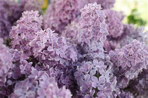 purple lilac flower guide flirty fleurs the florist blog