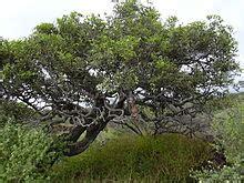 Khaki Ebenum ebenaceae
