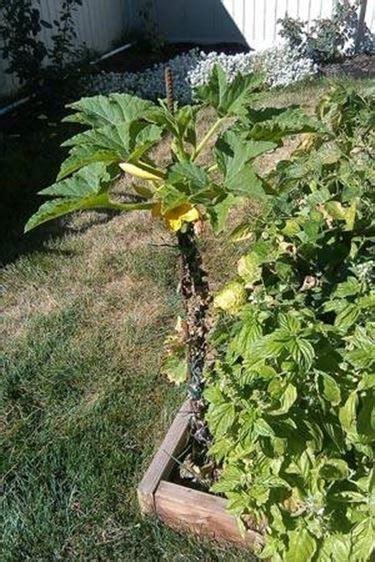 piante di zucchine in vaso coltivare zucchine in vaso coltivare orto